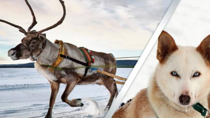 Rovaniemi Husky Safari Beginning a Info on chance within the Arctic